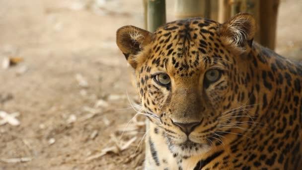Listening  leopard portrait
