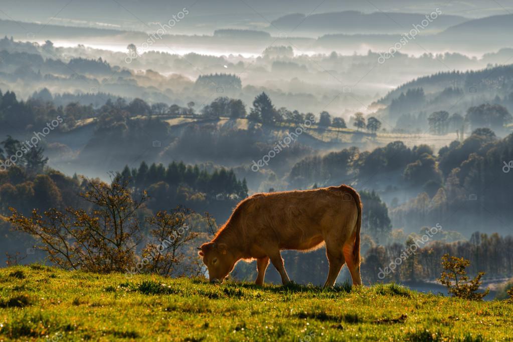 veal rubia galega grazing