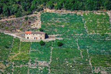Mencia grape vineyards  in the Ribeira Sacra
