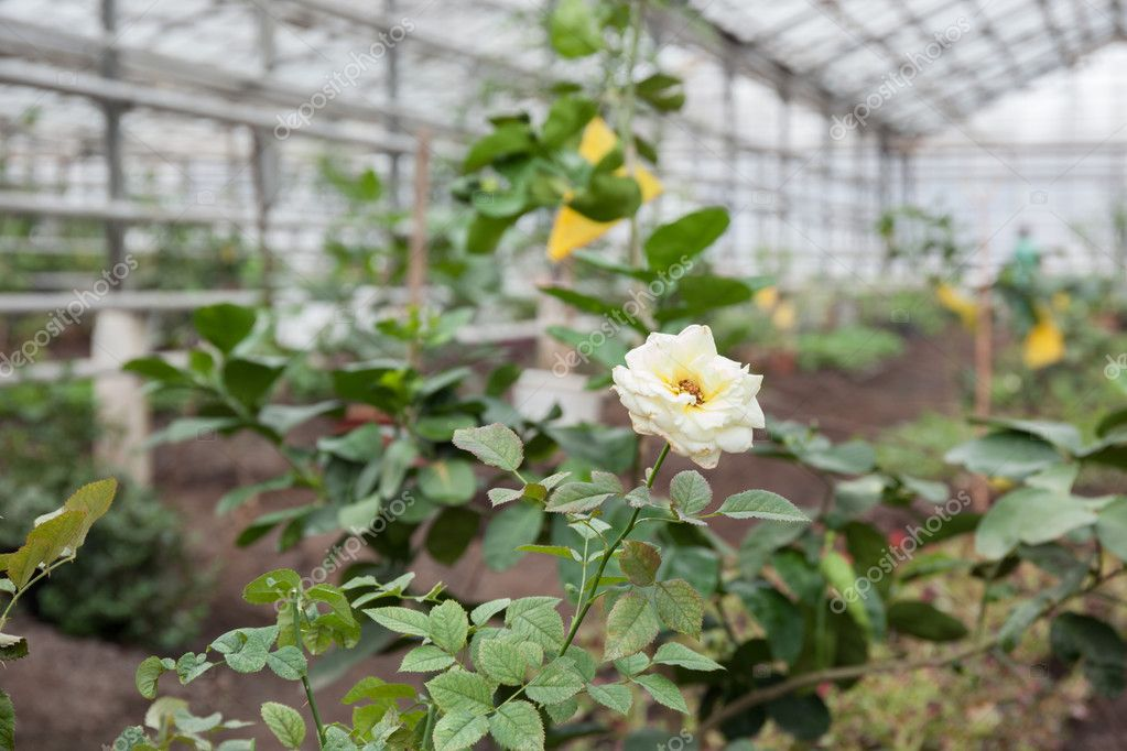 light rose in greenhouse
