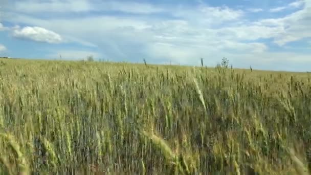 Krásný pšeničné pole na modrou oblohu s mraky. Zelená pšenice v poli. Není zralé pšenice