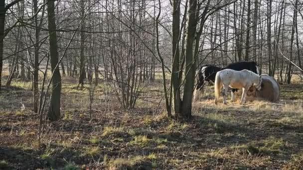 Koně pasoucí se na louce. Shire_31