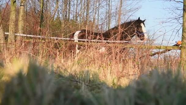 Koně pasoucí se na louce. Shire_28