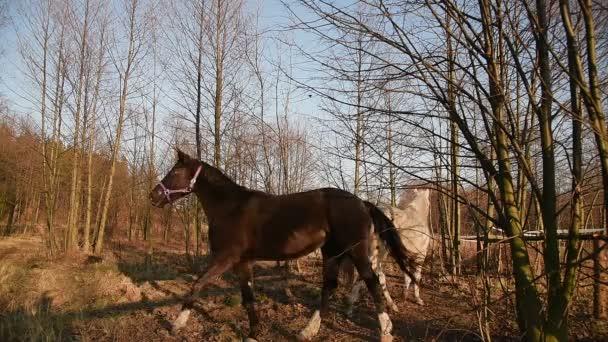 Koně pasoucí se na louce. Shire_26