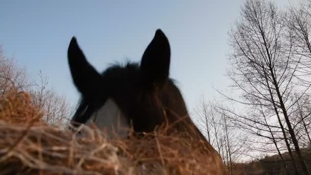 Koně pasoucí se na louce. Shire_16
