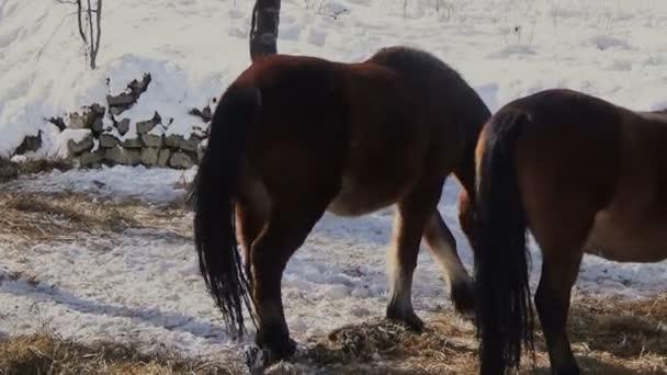 Koně v zasněžené březový les jíst trávu