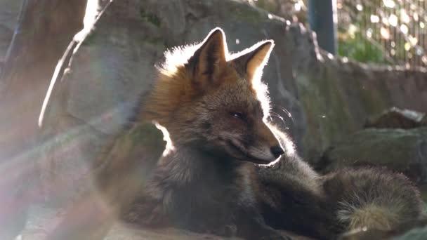 Red fox v zoo