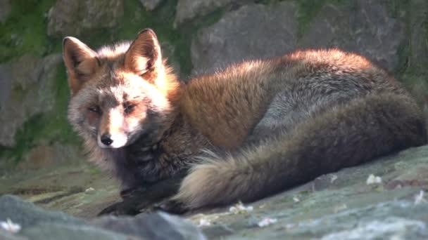 Sunny red fox v zoo