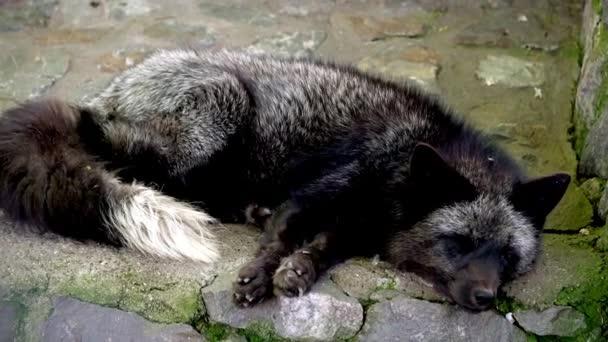 Arctic fox sleeping in zoo