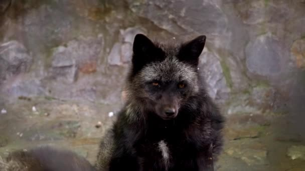 Arctic fox scratching in zoo