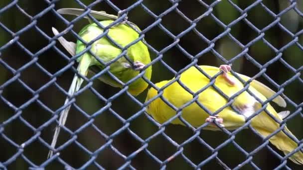 dva papoušci zelený papoušek v zoo za drát