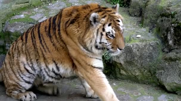 portrait of a bengal tiger in zoo