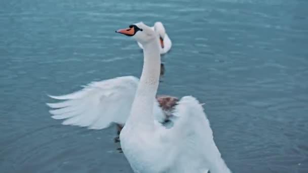 Kecses madár forgatja vékony nyakát, és élvezi a szépség, a tó és a természet. Egy elegáns hattyú portréja, amint csapkodja a szárnyait a vízben. Fogalom elegancia. Vad- és állatvilág. A tisztaság jele.