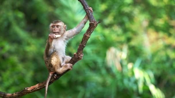 Portrét roztomilé opice na větvi, jak se dívá do kamery. Roztomilá opice pojídající ovoce visící v liáně v deštném pralese. Vtipná scéna divoké zvěře v exotickém lese.