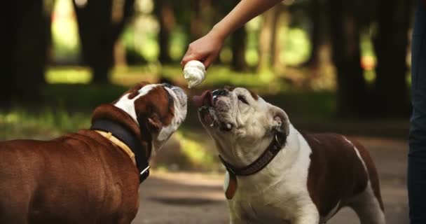 Two cute and funny english bulldogs eating cold ice cream in hot summer day. Happy lovely dogs biting delicious desert from hands of their owner. Pet, domestic animal, canine, doggy concept.