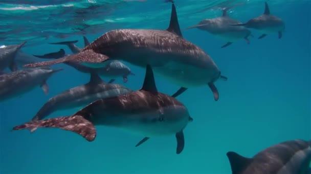 Víz alatti fotózás a delfin család. Az emlősök együtt mozognak. Gyönyörű természet, tiszta víz, gyönyörű kilátás. Hihetetlen élmény, a természet ismerete. A természettel való kölcsönhatás fogalma