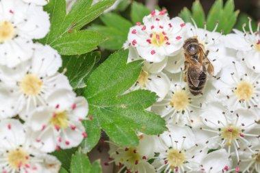 Bee gathers honey
