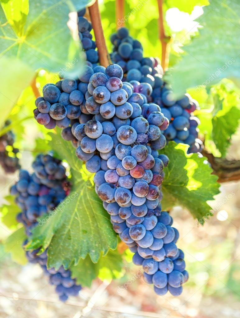 Ripe blue vine closeup against background of vineyard dark grapes ripe blue vine closeup against background of vineyard dark grapes stock izmirmasajfo