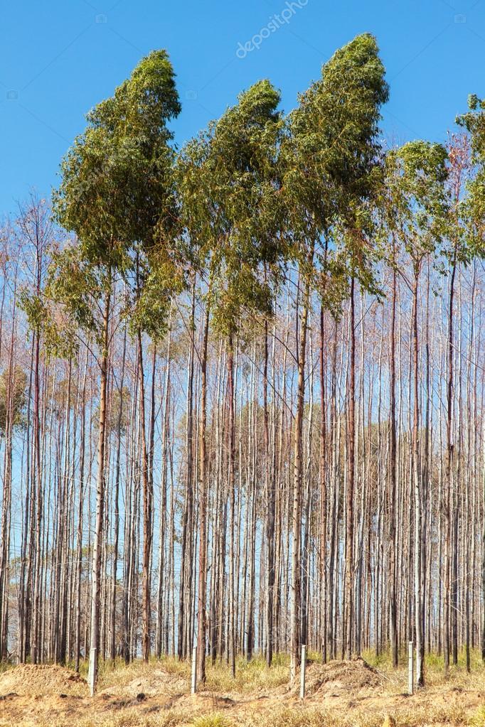 Eucalyptus Trees Plantation With Blue Sky On Background Stock