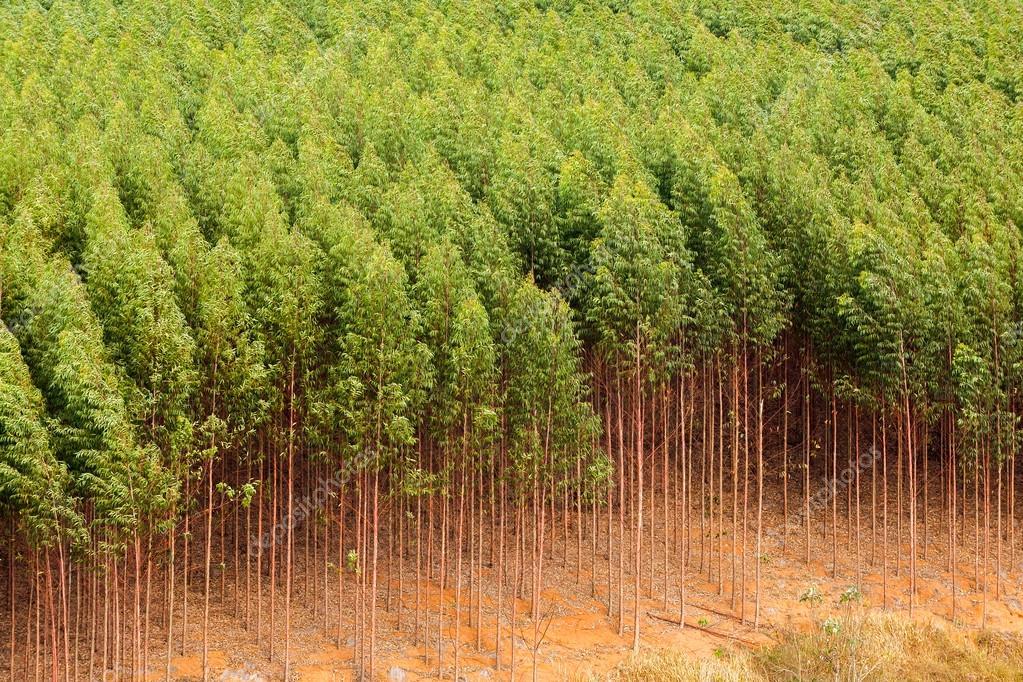 Plantação de eucalipto no Brasil — Fotografias de Stock ...