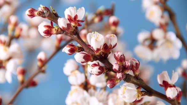Virágzó sárgabarack idő telik el