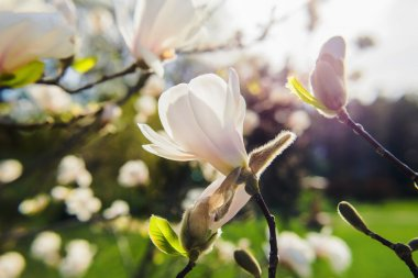 white blooming magnolias at spring