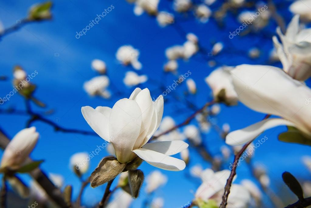 weiß blühende Magnolien im Frühling — Stockfoto © Kateryna_Mostova ...