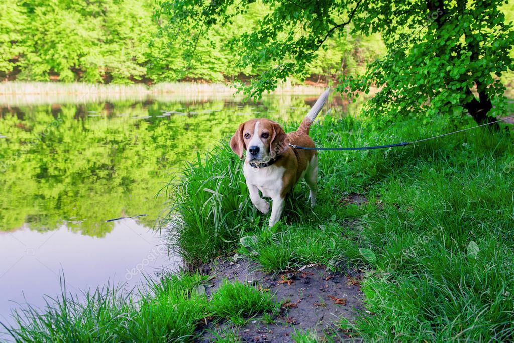 photo of beagle dog