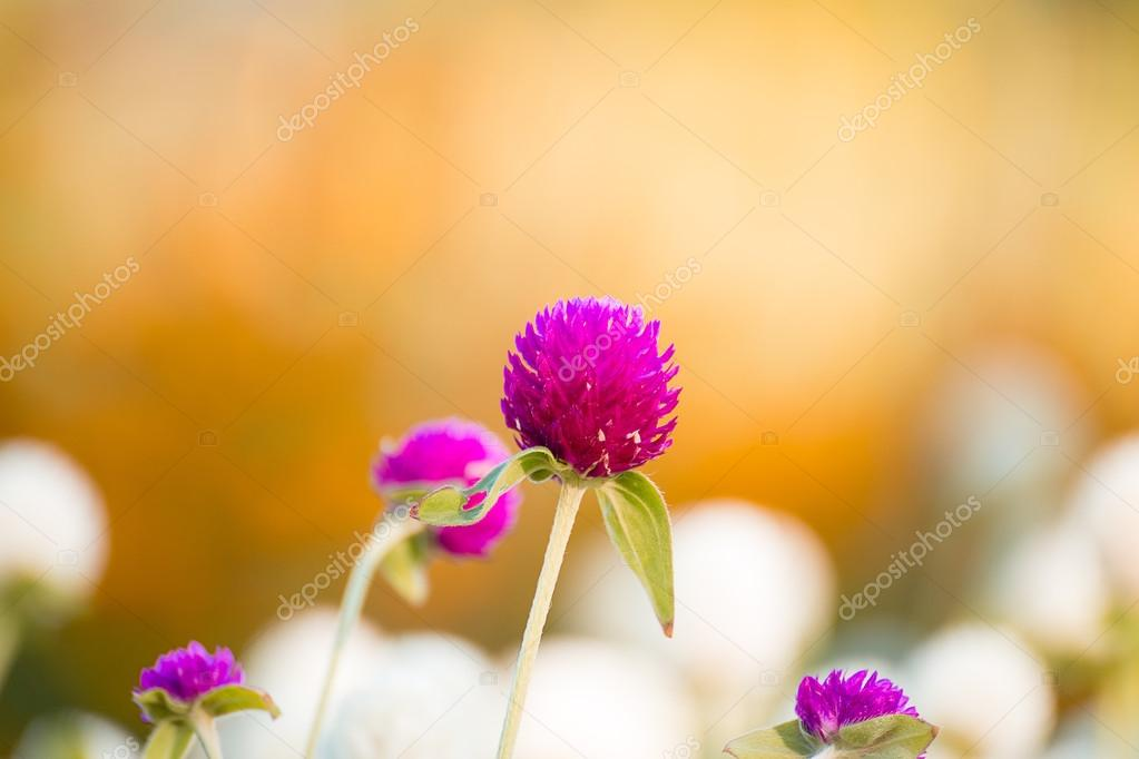 Globe Amaranth Or Bachelor Button Flower Stock Photo C Fayza Mazel