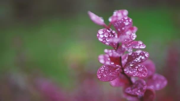 Ječmen s červenými listy s kapkami deště