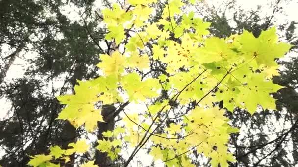 Žluté javorové listy na větvích uprostřed lesa