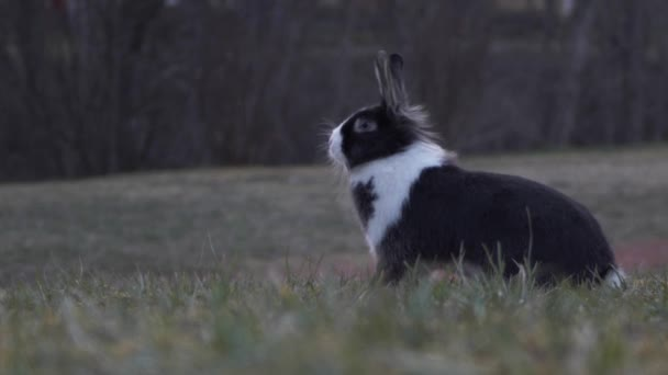 The dwarf rabbit sits in the grass at sunset, blurred