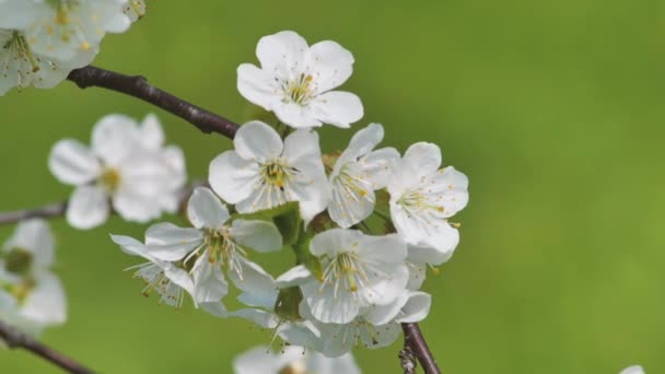 Sweet cherry blossoms in spring. White cherry blossoms