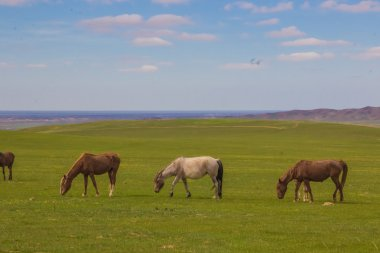 Horses grazing on steppe pastures in Kazakhstan, central Asia