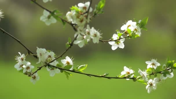 Virágzó fa (lassú mozgás)