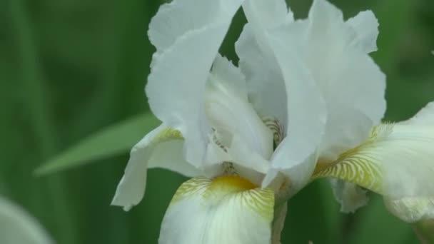 close up white iris flower in garden