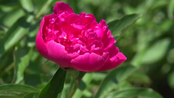 Peony. Flowers. Flowerbed, flower bed
