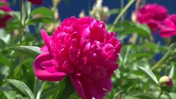 Peony. Flowers. Flowerbed, flower bed
