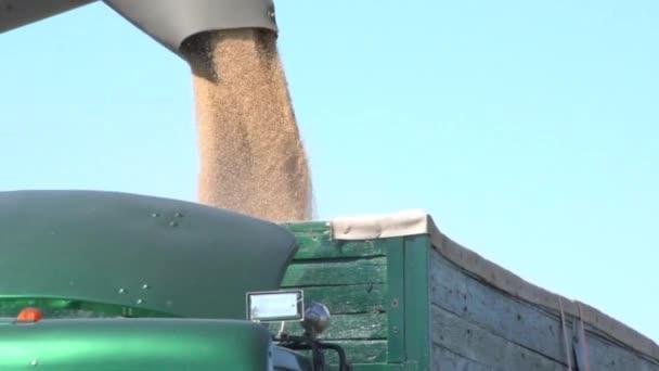 Búza aratás a termőföld