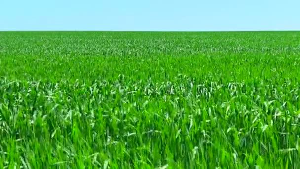 Pole zelené pšenice