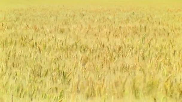 Golden Wheat. harvest
