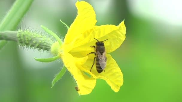 Méh beporzó virág, uborka
