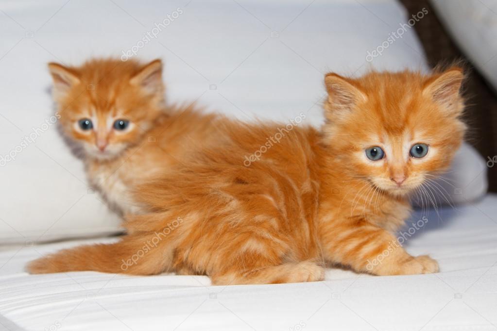 Due piccoli gattini marroni foto stock manatus 105137816 for I gattini piccoli