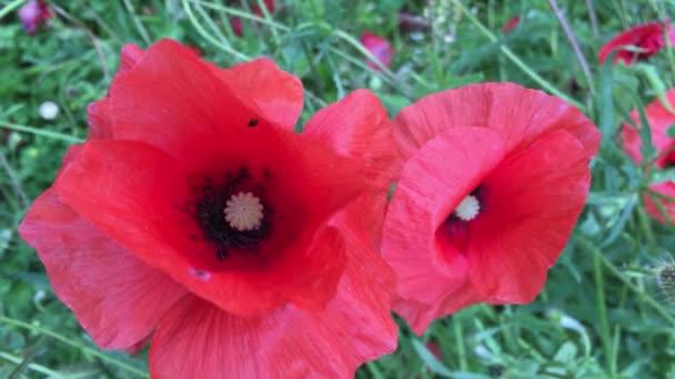 Červené Vlčí máky na poli, květiny na louce, trávník, letní krajina
