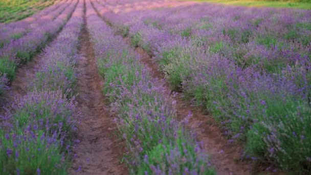 Endless patches in purple blooming lavender field.