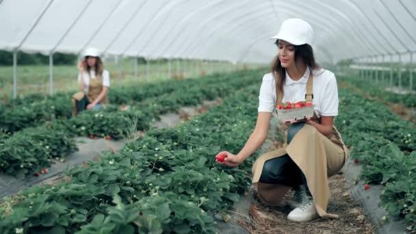 Charming women picking juicy ripe strawberries.