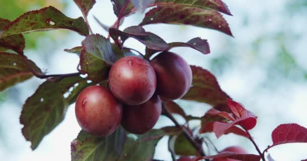Sweet ripe plums growing on trees at orchard