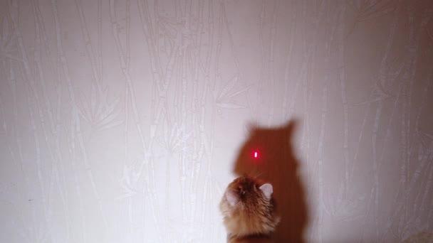 Katze spielt mit Laserpointer red dot