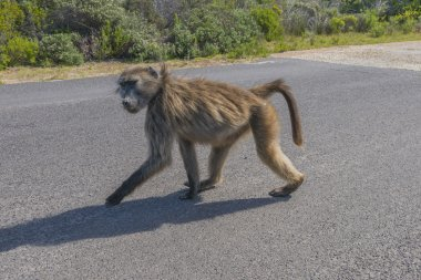 Baboon at Cape Point, South Africa