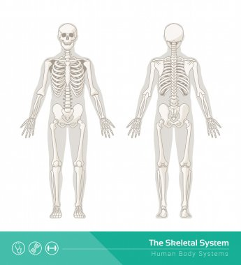 skeletal system drawing